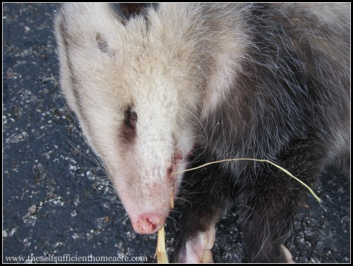 Killing a Possum on the Homestead - The Self Sufficient HomeAcre