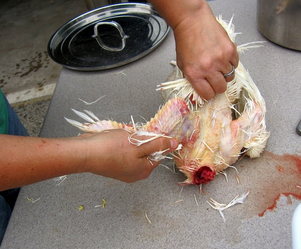 Plucking the chicken