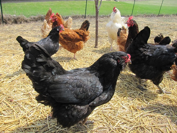 Are Chickens Vegetarians?
