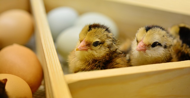 Chickens as Livestock or Pets? - The Self Sufficient HomeAcre