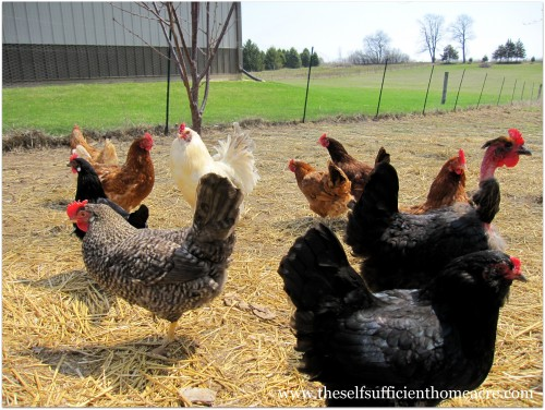 Switching to Organic Chicken Feed
