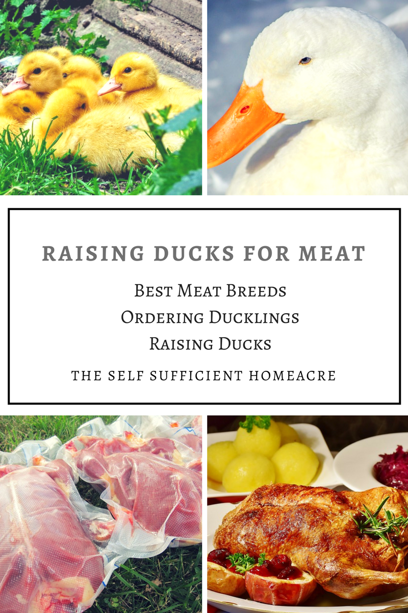 Raising Ducks for Meat Banner