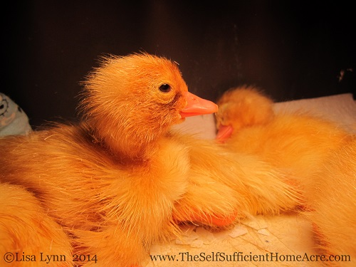Newly hatched ducklings - Raising ducks for meat