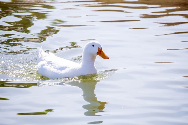 Pekin duck swimming - Raising Ducks for Meat