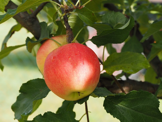 Fruit Trees for Self Sufficiency
