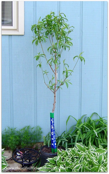 Fruit Trees for Self Sufficiency - The Self Sufficient HomeAcre