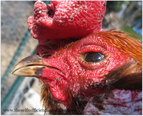 Treating a Rooster With an Injured Eye - The Self Sufficient HomeAcre