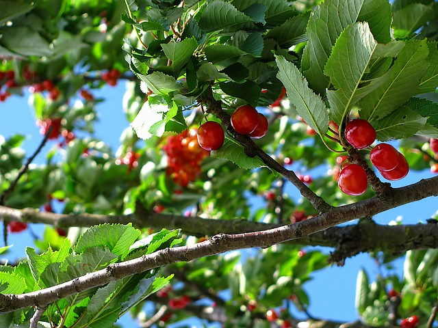 Planting Cherry Trees - The Self Sufficient HomeAcre