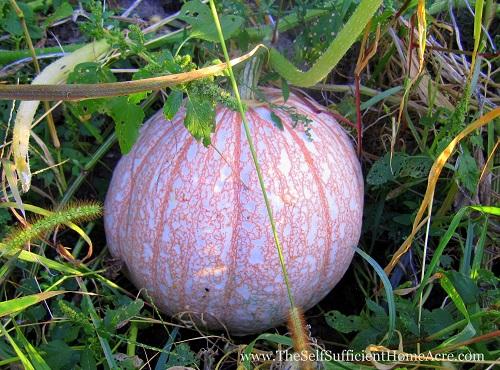 'One Too Many' Pumpkins