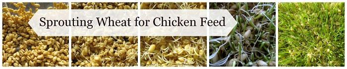Sprouting Wheat For Chicken Feed
