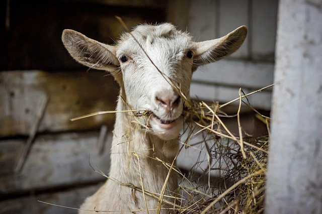 Goat Lessons for Newbies - The Self Sufficient HomeAcre