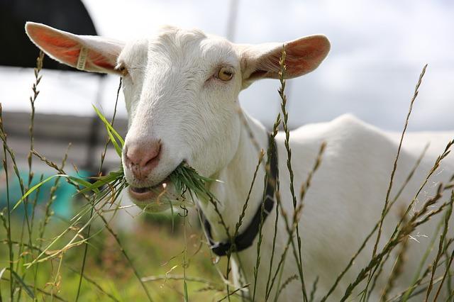 Getting My Goat