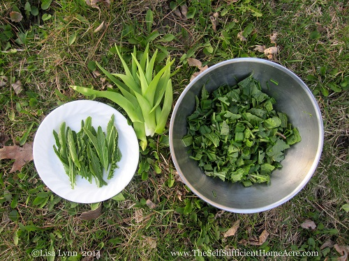Foraging for greens and horseradish leaves for salads.