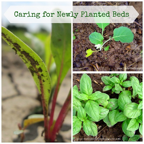 Caring for Newly Planted Beds