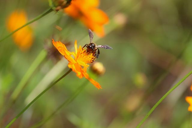 Bee pollinating cosmos