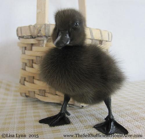 Keeping Ducks on the Homestead