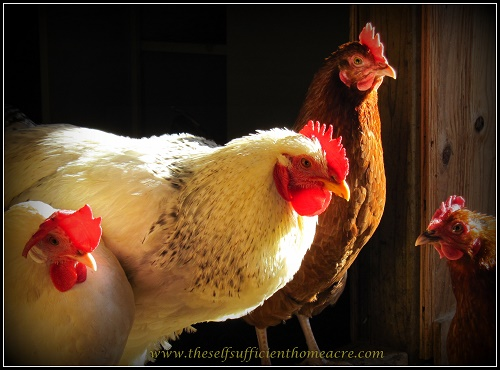12 Ways to Save Money on Chicken Feed - The Self Sufficient HomeAcre