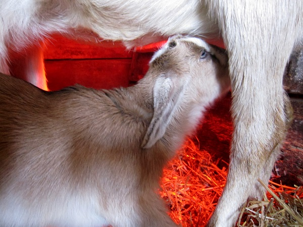 Bottle Feeding Baby Goats - The Self Sufficient HomeAcre