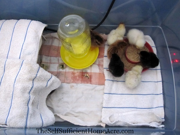 brooder box with chicks