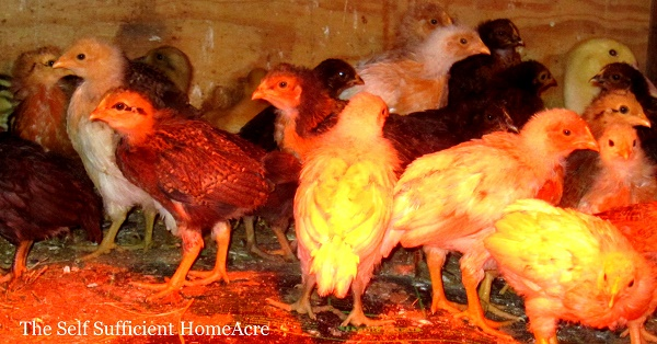 Scruffy Chicks - The Self Sufficient HomeAcre