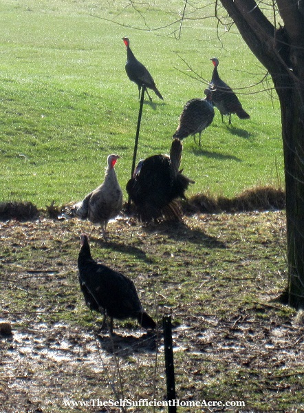 A Gang of Wild Turkeys - The Self Sufficient HomeAcre