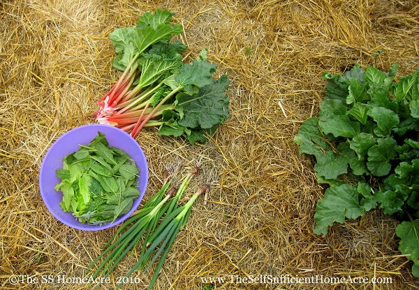 Ready for Rhubarb - The Self Sufficient HomeAcre