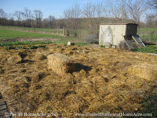 Mulching the garden with a thick layer of straw.