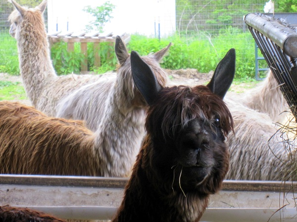 Alpaca Shearing Day - The Self Sufficient HomeAcre