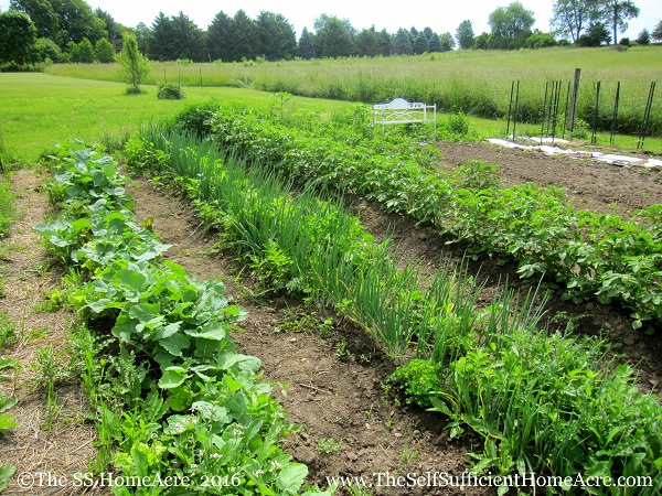 Rutabagas, onions, and potatoes in lush rows.
