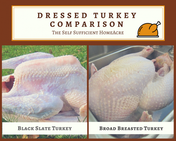 Choose The Best Turkeys For Your Homestead- The Self Sufficient HomeAcre