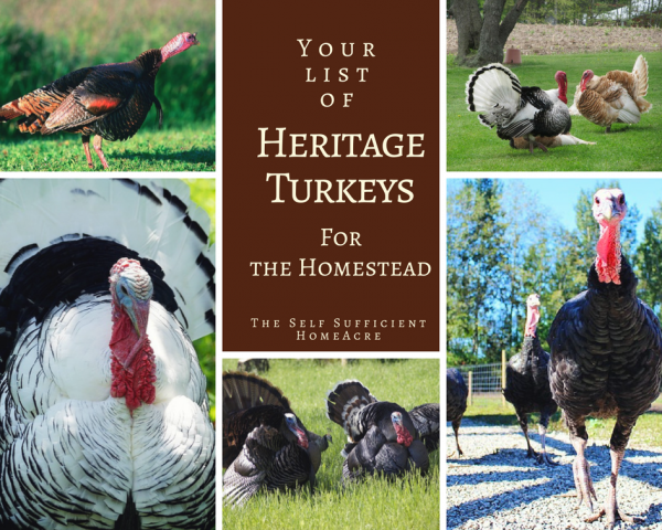 Different breeds of heritage turkeys