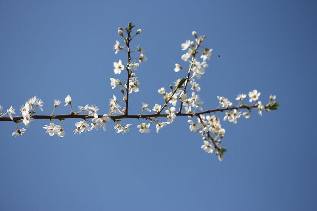 fruit tree flowering