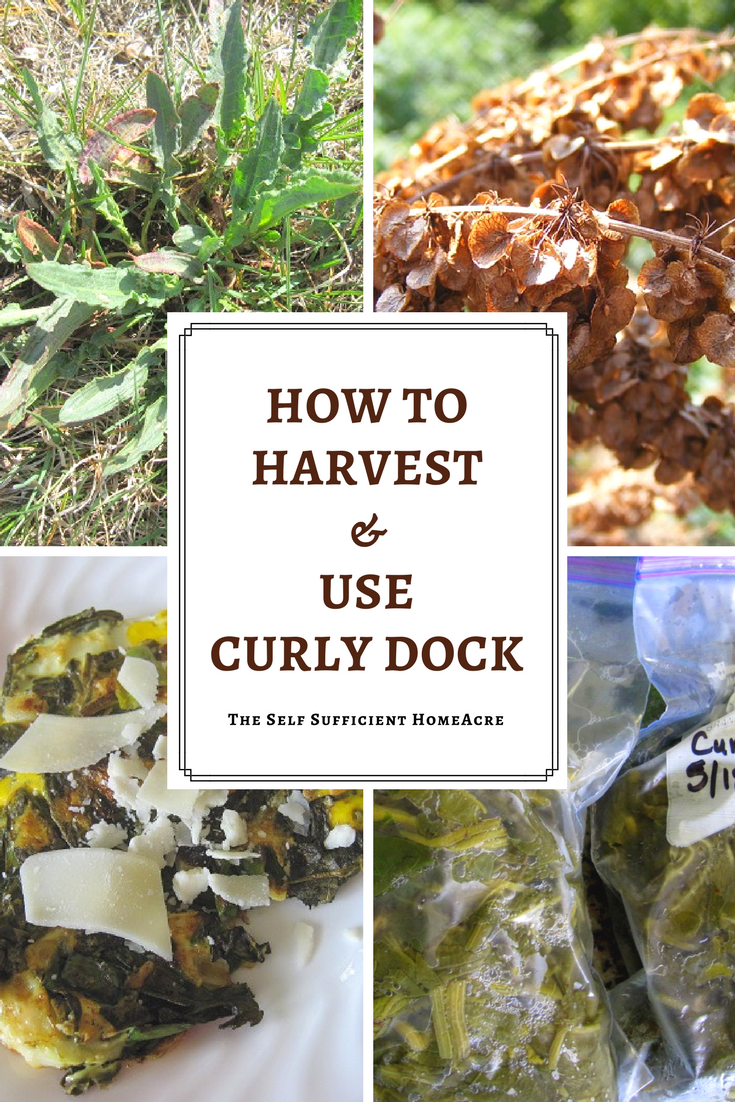 How to harvest and use curly dock graphic