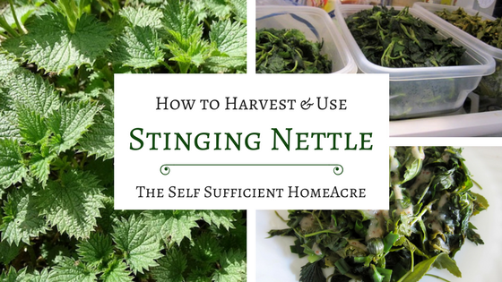 How to Harvest and Use Stinging Nettle