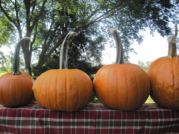How to Harvest & Store Pumpkins & Winter Squash