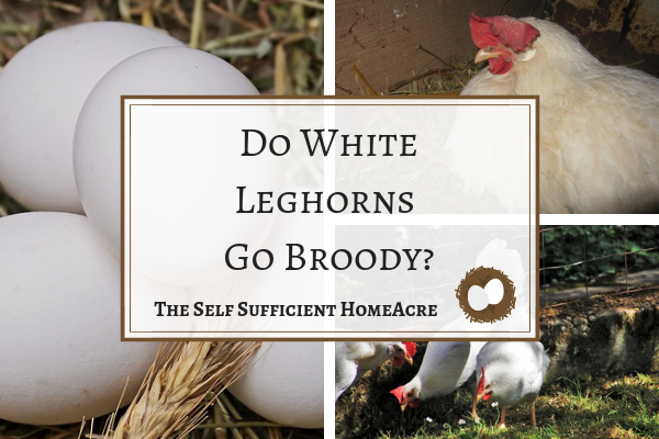 Do White Leghorns Go Broody?