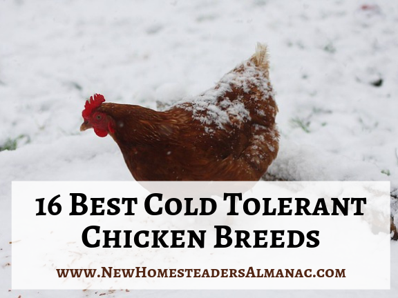 16 Cold Tolerant Chicken Breeds - The New Homesteader's Almanac