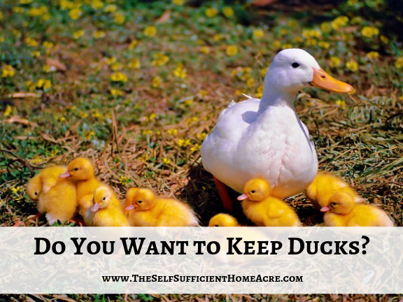 Do You Want to Keep Ducks?