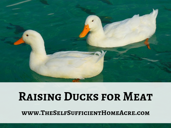 Raising Ducks for Meat