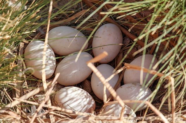 ducks and duck eggs