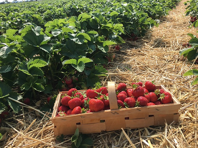 Your Ultimate Guide to Growing Organic Strawberries!