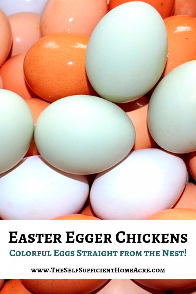 Easter Egger Chickens