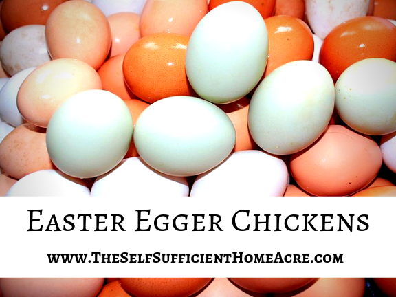 Easter Egger Chickens