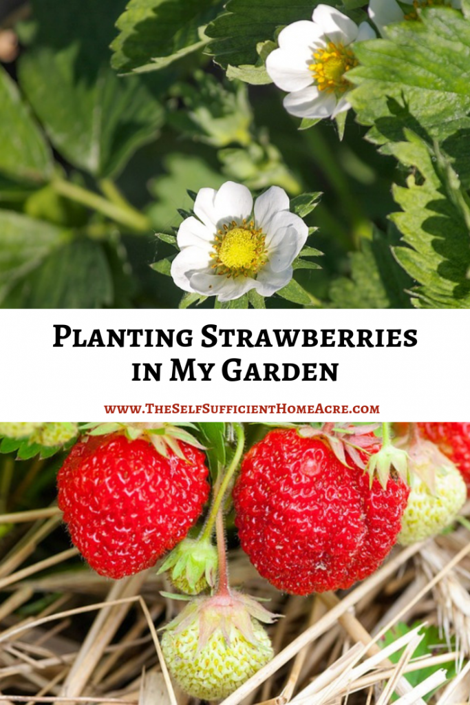Planting Strawberries in My Garden - The Self Sufficient HomeAcre