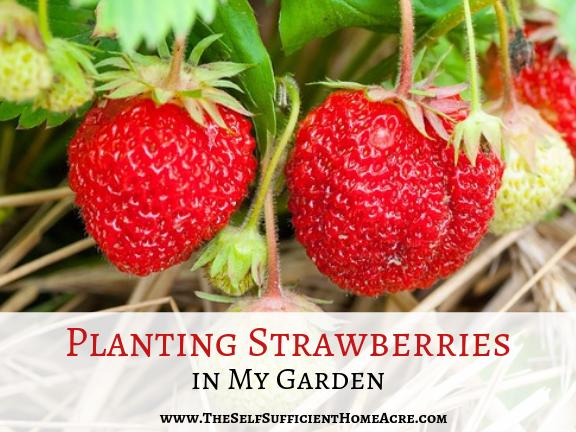 Planting Strawberries in My Garden