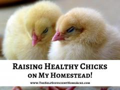 Raising Healthy Chicks