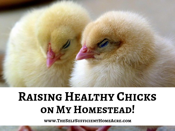How to Raise Healthy Baby Chicks