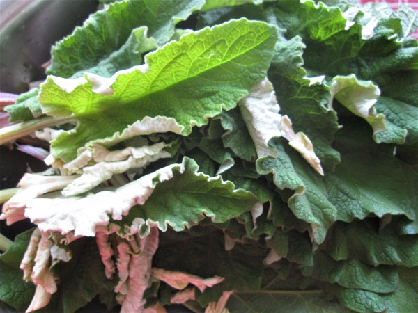 Young burdock leaves, washed and ready to cook.