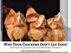 Why Your Chickens Don't Lay Eggs by The Self Sufficient HomeAcre