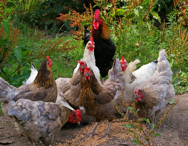 9 Things to Consider Before You Buy Chickens